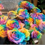 Amazing roses in the world