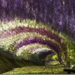 Gorgeous wisteria tunnel and garden to let the soul wander