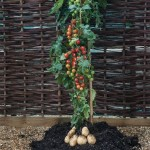 Awesome tomato-potato plant hybrid