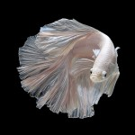 Fantastic photos of Siamese Fighting Fishes