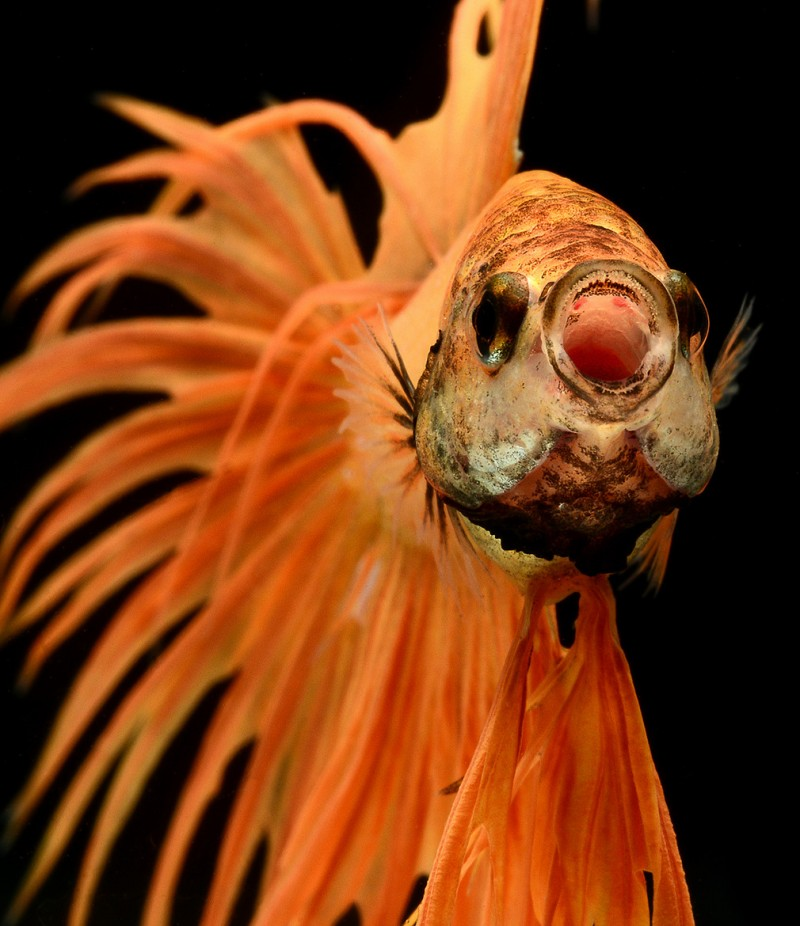 betta , siamese fighting fish isolated on black background