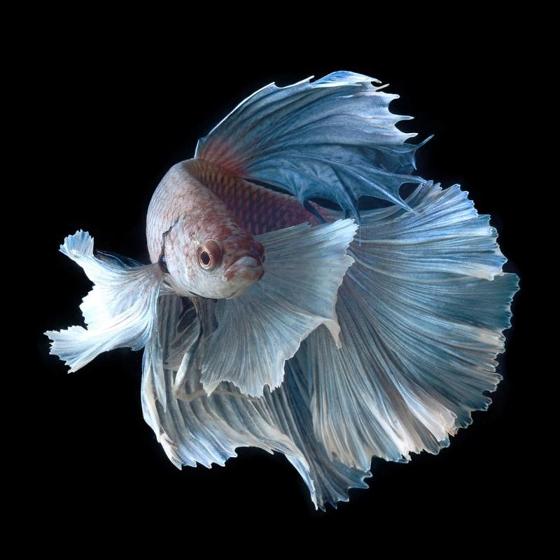 Stunning-beautiful-photos-of-tropical-Siamese-Fighting-Fishes (5)