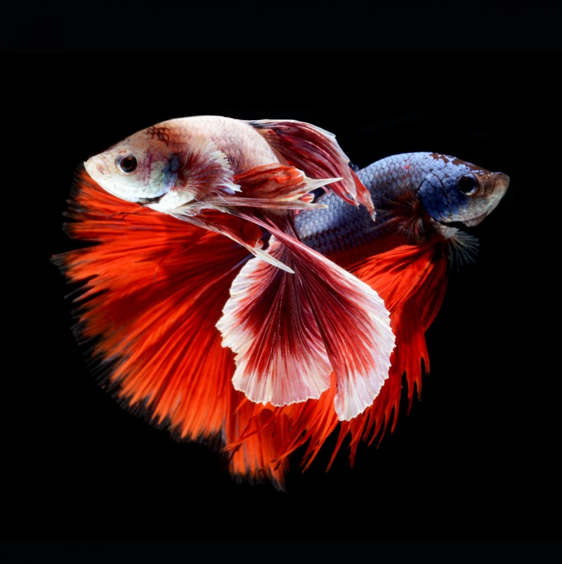 Stunning-beautiful-photos-of-tropical-Siamese-Fighting-Fishes (8)