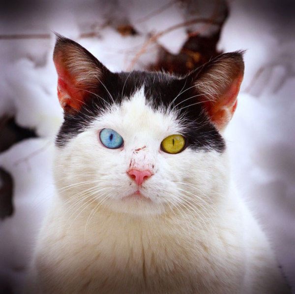 adorable-cute-lovely-animals-odd-eyed-colours (11)