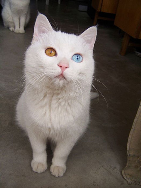 adorable-cute-lovely-animals-odd-eyed-colours (12)