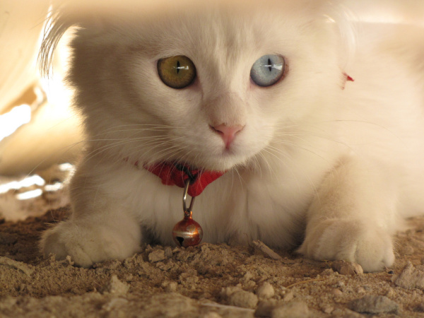 adorable-cute-lovely-animals-odd-eyed-colours (3)