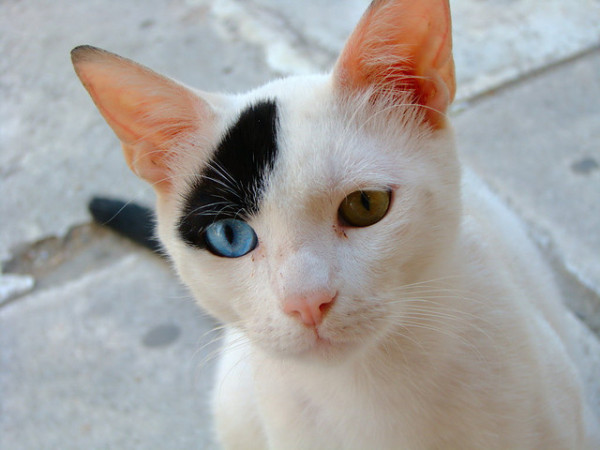 adorable-cute-lovely-animals-odd-eyed-colours (4)