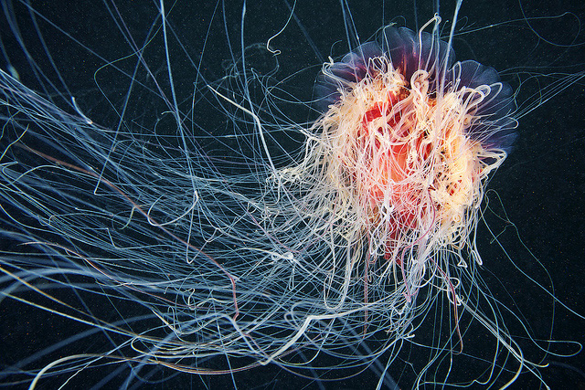 stunning-beautiful-photographs-underwater-life-jellyfish (2)