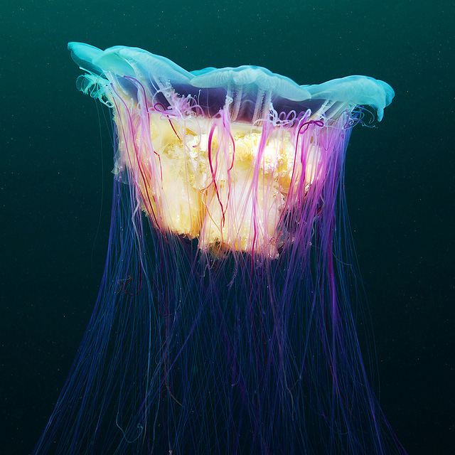 stunning-beautiful-photographs-underwater-life-jellyfish (6)