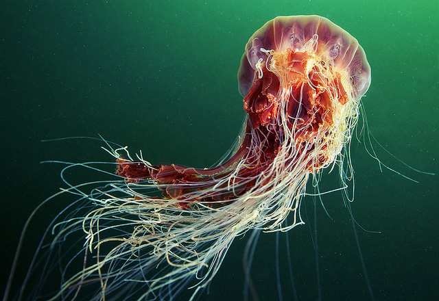 stunning-beautiful-photographs-underwater-life-jellyfish (7)