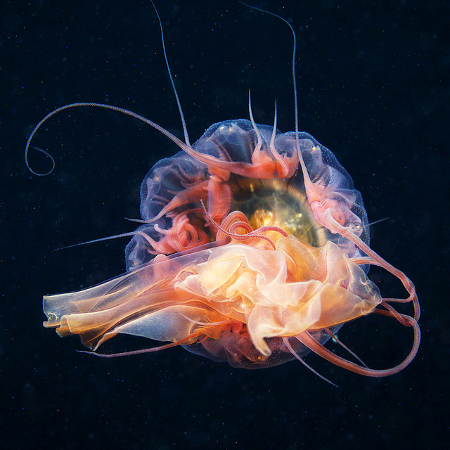 stunning-beautiful-photographs-underwater-life-jellyfish (8)