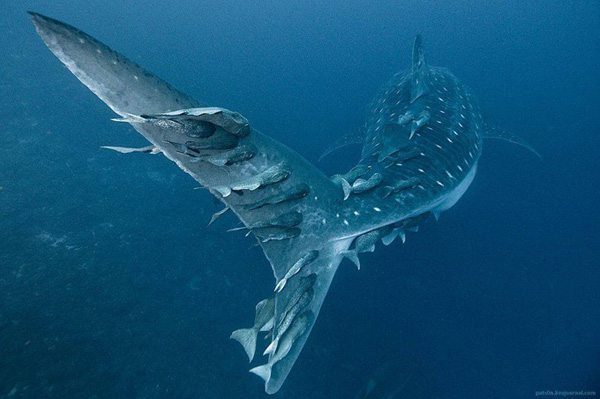 impressive-beautiful-deep-underwater-photography-marine-creatures (11)