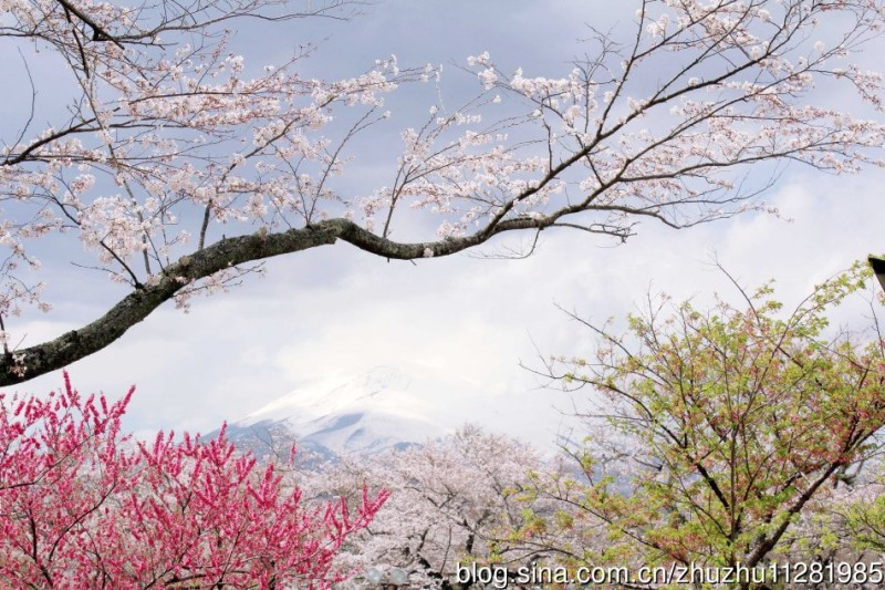oriental-cherry-blossom-photograph