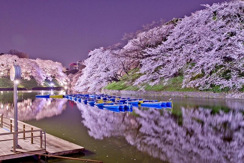 stunning-beautiful-japanese-cherry-blossom-sakura-oriental-cherry-pictures (12)