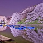 Overwhelmingly beautiful Japanese cherry blossom (Sakura) in the spring 2014