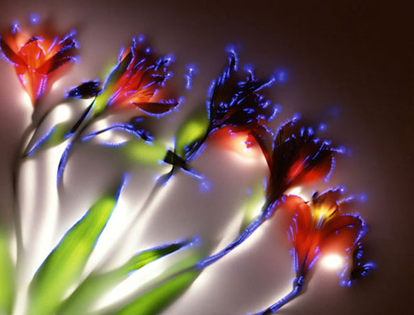 amazing-photos-electrified-flowers-plants-coronal-discharges-Kirlian-photography (1)