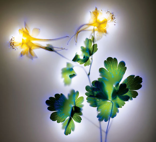 amazing-photos-electrified-flowers-plants-coronal-discharges-Kirlian-photography