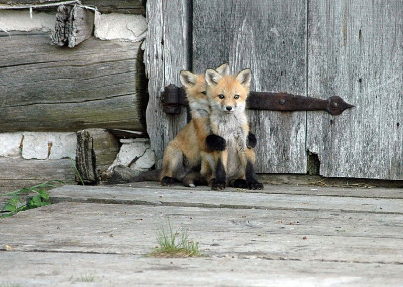 amazing-wildlife-photography-beautiful-foxes-pictures (1)
