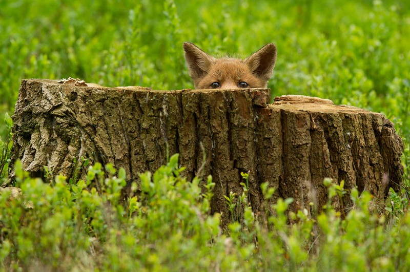 amazing-wildlife-photography-beautiful-foxes-pictures (10)