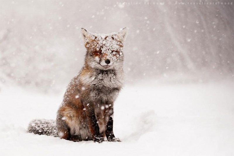 amazing-wildlife-photography-beautiful-foxes-pictures (12)