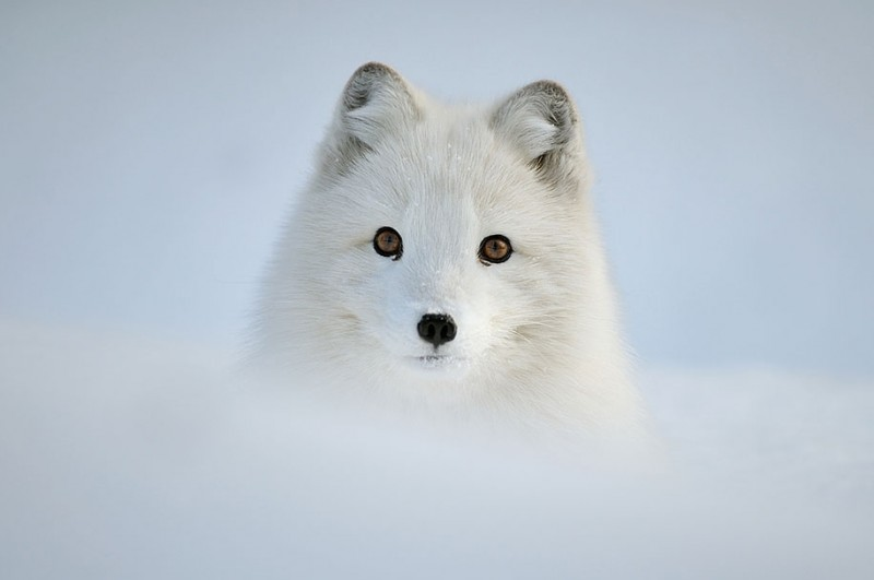 amazing-wildlife-photography-beautiful-foxes-pictures (13)