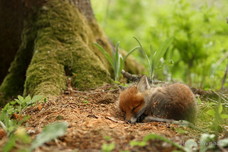 amazing-wildlife-photography-beautiful-foxes-pictures (14)