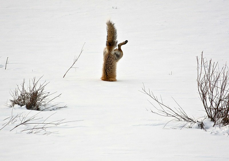 amazing-wildlife-photography-beautiful-foxes-pictures (15)