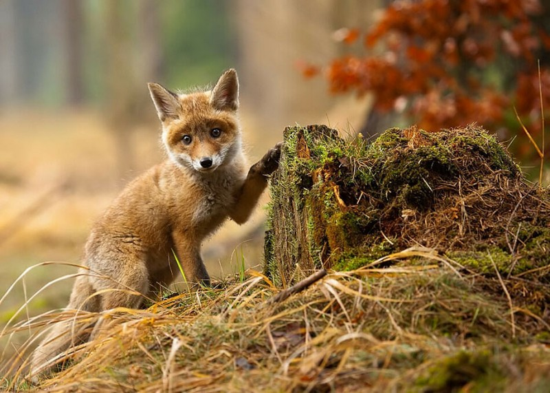 amazing-wildlife-photography-beautiful-foxes-pictures (16)