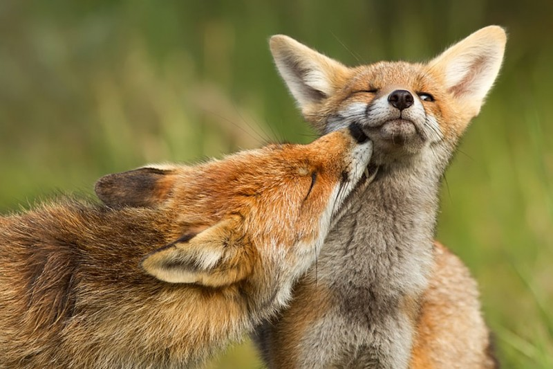 amazing-wildlife-photography-beautiful-foxes-pictures (5)