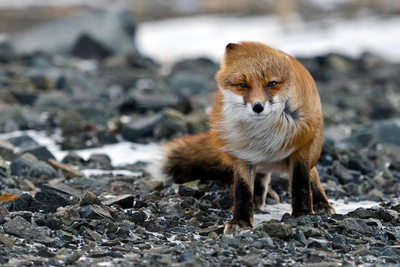 amazing-wildlife-photography-beautiful-foxes-pictures (6)