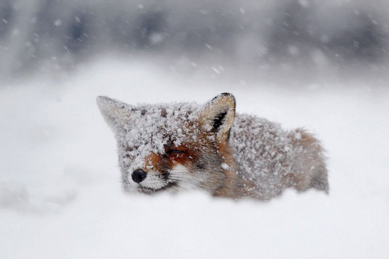 amazing-wildlife-photography-beautiful-foxes-pictures (7)