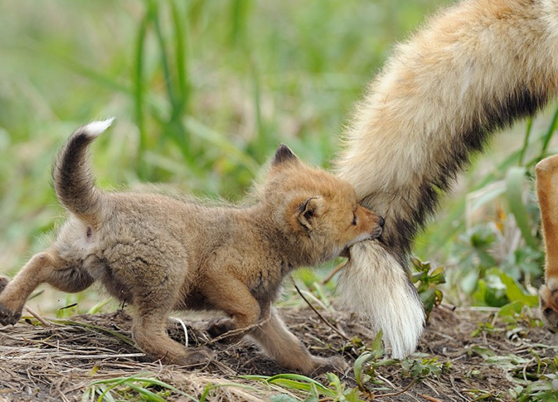 amazing-wildlife-photography-beautiful-foxes-pictures (8)