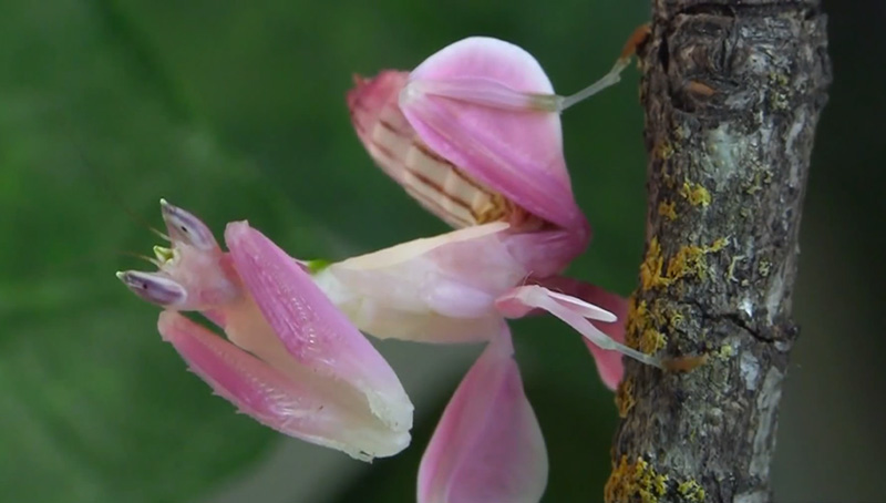 beautiful-insect-Orchid-Mantis-like-flower-prey