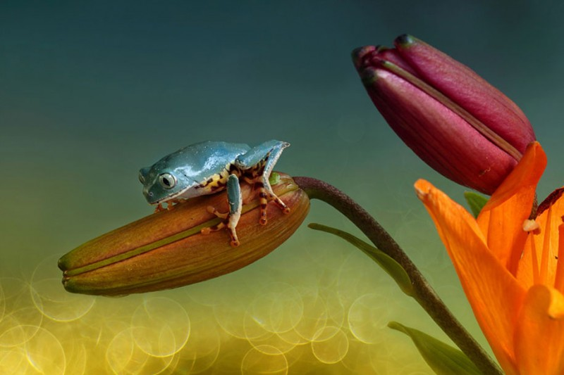 beautiful-magical-frogs-world-macro-photography-pictures (13)