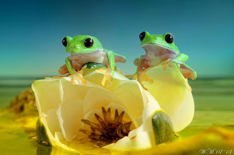 beautiful-magical-frogs-world-macro-photography-pictures (15)