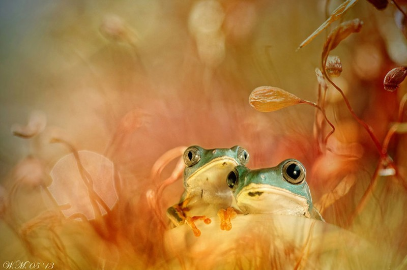 beautiful-magical-frogs-world-macro-photography-pictures (17)