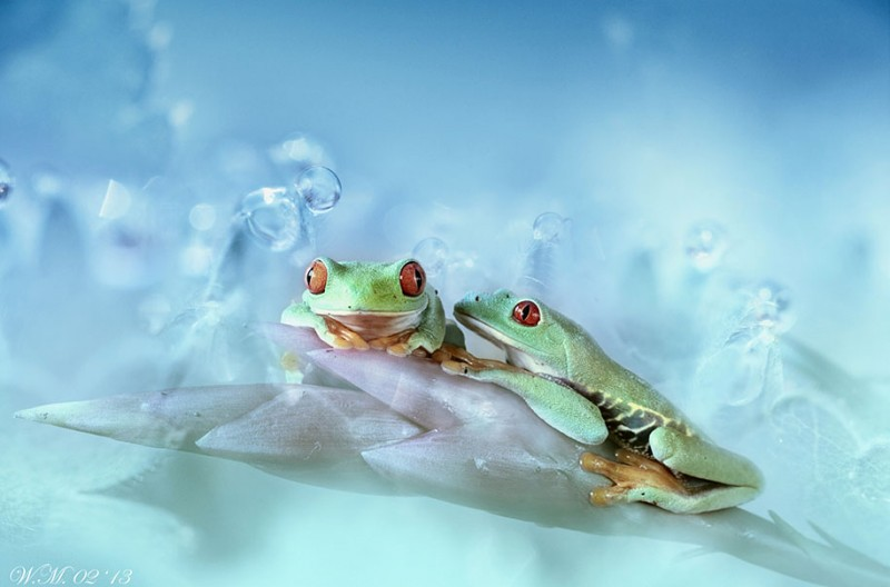 beautiful-magical-frogs-world-macro-photography-pictures (5)