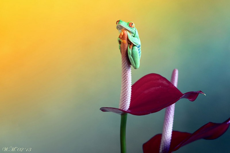 beautiful-magical-frogs-world-macro-photography-pictures (7)