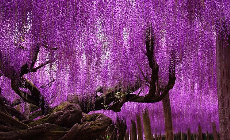 amazing-beautiful-large-wisteria-bloom-japan (1)