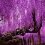 The largest magical-looking wisteria vine in Japan