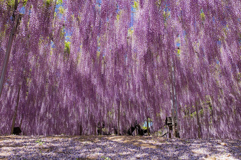 amazing-beautiful-large-wisteria-bloom-japan (10)