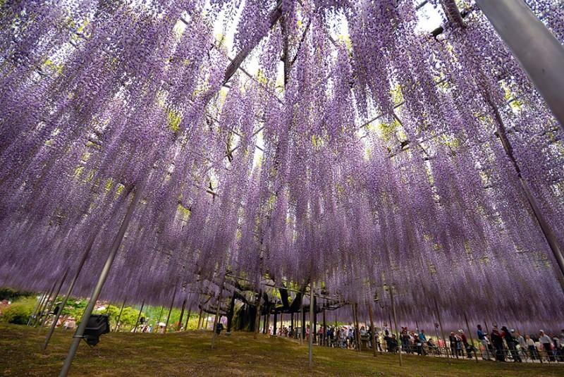 amazing-beautiful-large-wisteria-bloom-japan (11)