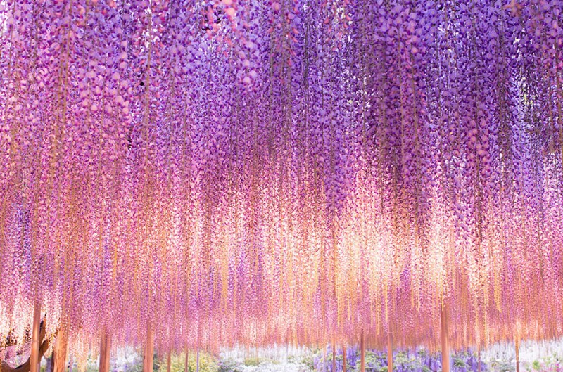 amazing-beautiful-large-wisteria-bloom-japan (2)
