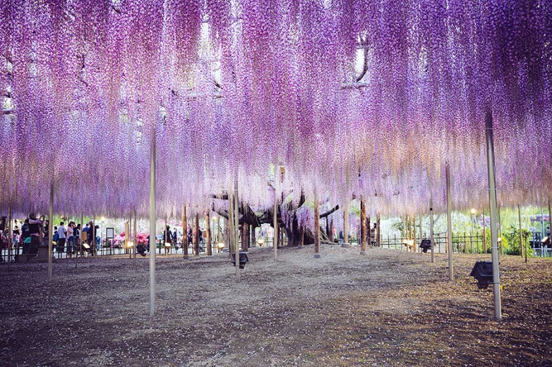 amazing-beautiful-large-wisteria-bloom-japan (4)