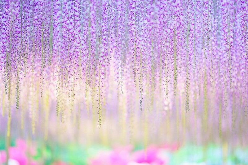 amazing-beautiful-large-wisteria-bloom-japan (7)
