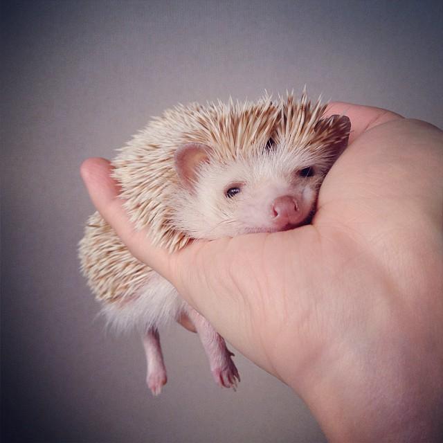 cute-adorable-animals-hedgehog-hedgepig (1)