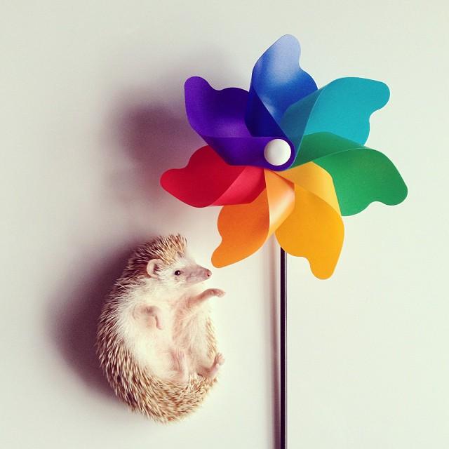 cute-adorable-animals-hedgehog-hedgepig (2)