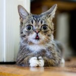 cute-adorable-animals-lilbub (1)
