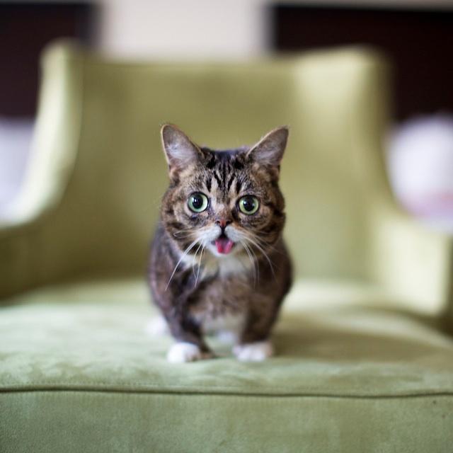 cute-adorable-animals-lilbub (2)