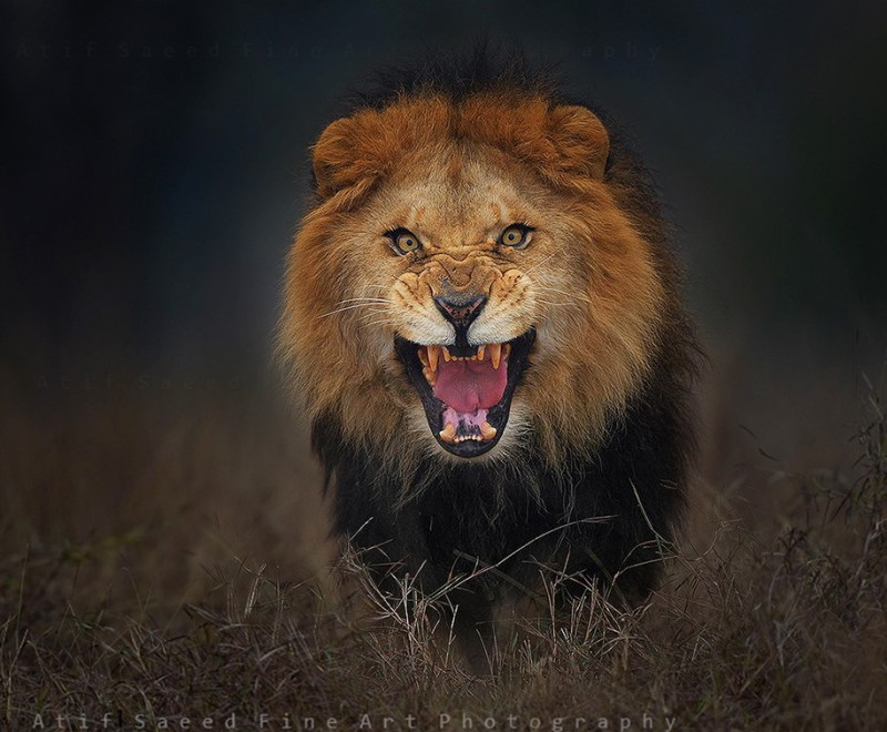 animal-photography-angry-lion-pictures (1)